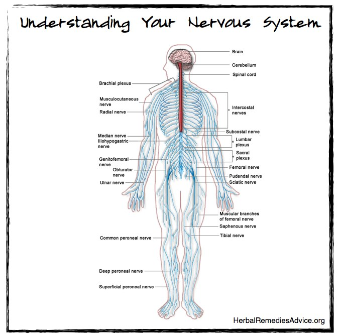 structure of the nervous system diagram of nerve system