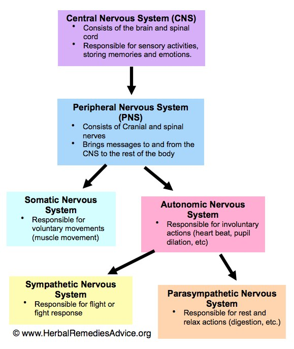 Nervous System Diagram