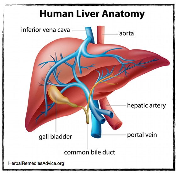 what does the liver do?, Human Body
