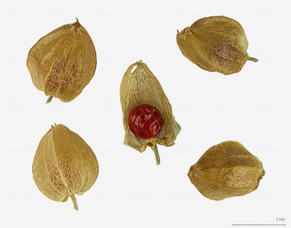 Ashwagandha Berries