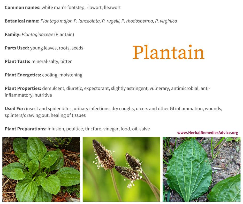 Bildresultat för plantago major benefits