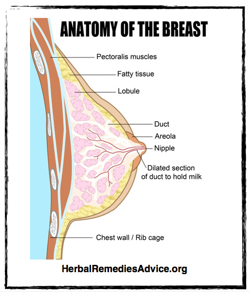 Breast Tissue Anatomy