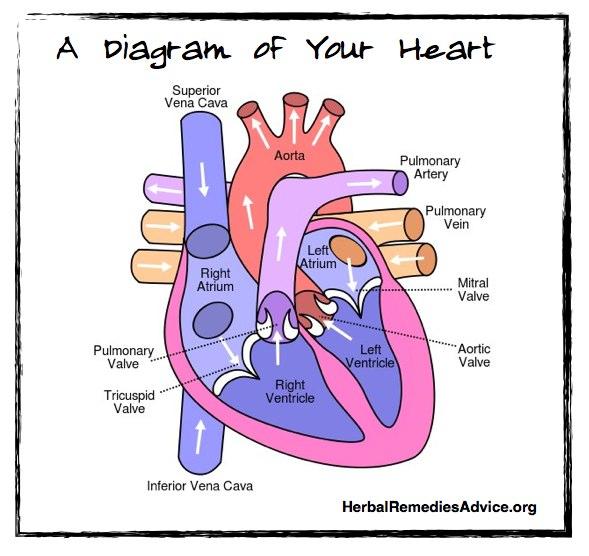 Cardiovascular System Diagram