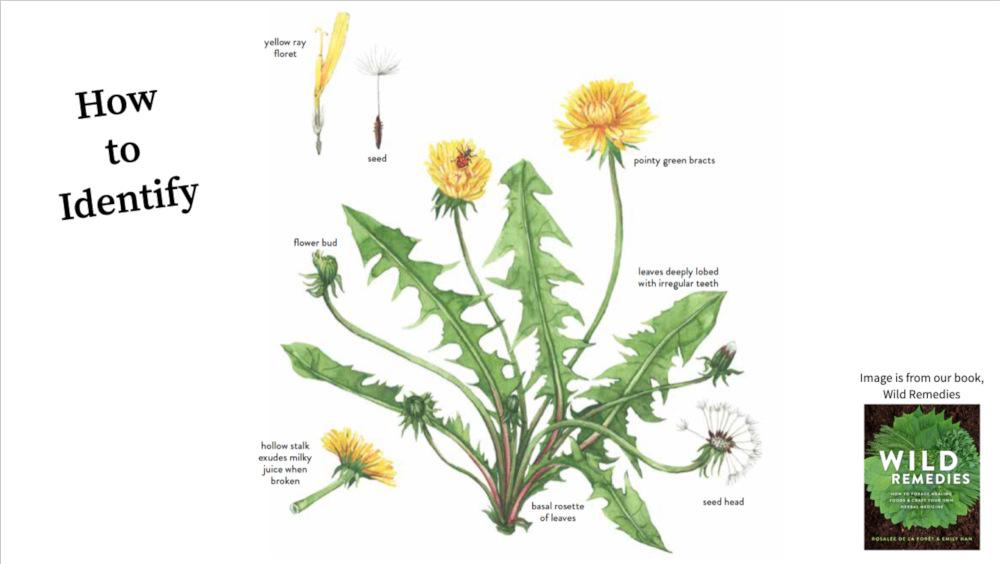 dandelion identification