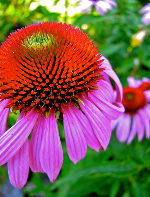 Echinacea Herbal Remedies