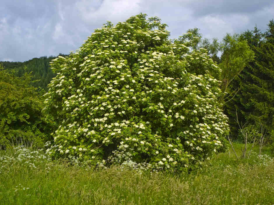 picture of elderberry bush