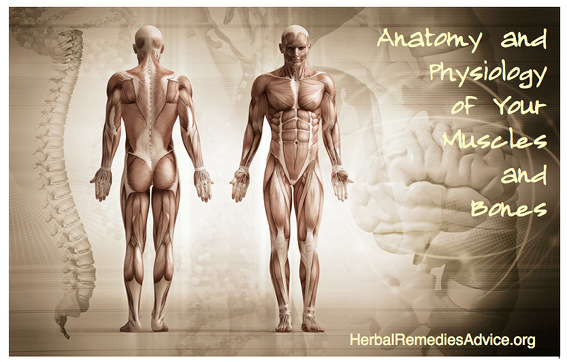 Anatomy Musculoskeletal System