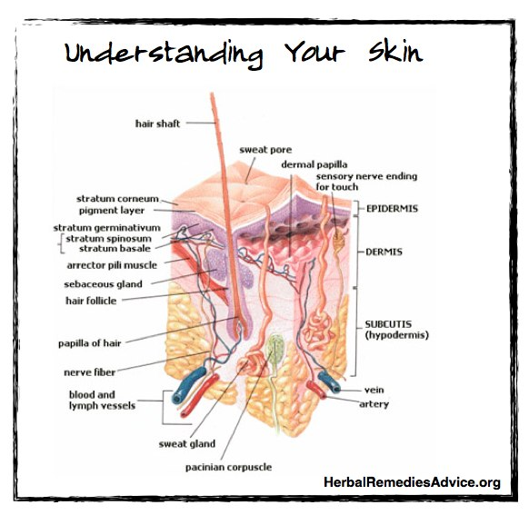 The integumentary system is a fancy word that encompasses the skin and all of the tissues that form out of the skin, such as nails, hair, and some glands