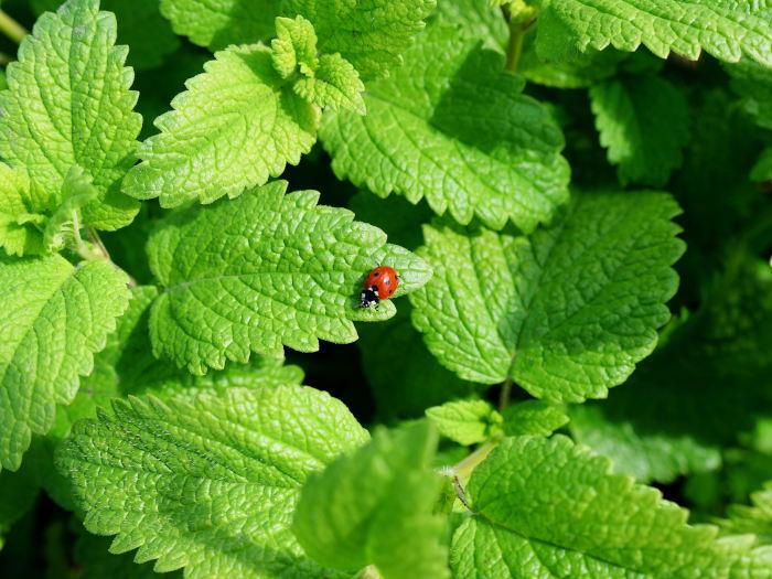 Lady Bug on Lemon Balm Leaves