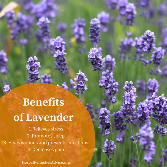 Benefits Of Lavender Herb
