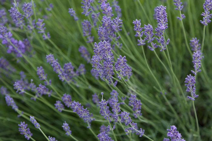 Lavender Pictures