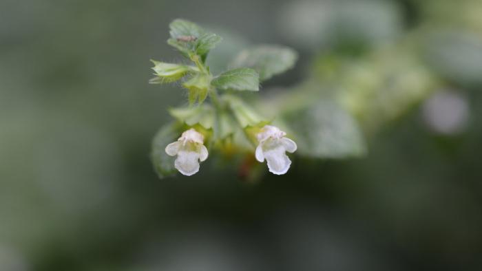 Lemon Balm Flowers