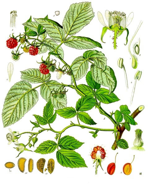 Raspberry Leaf Uses