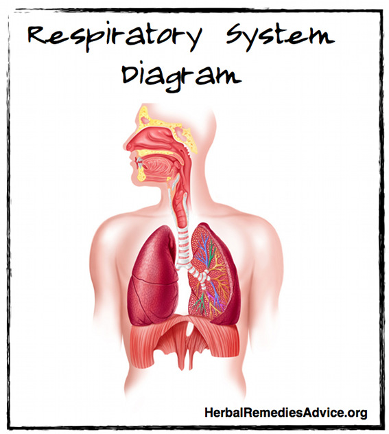respiratory system overview, Cephalic Vein
