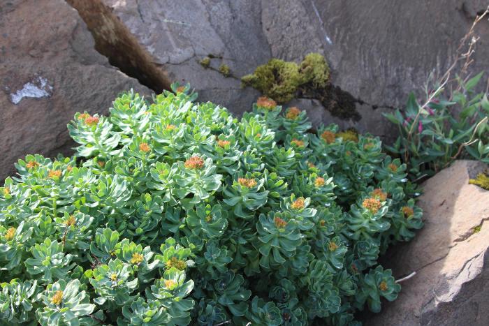 rhodiola rosea benefits