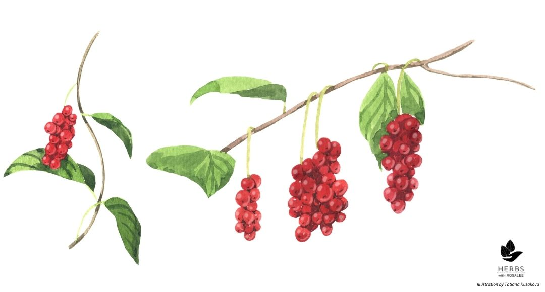 Schisandra illustration