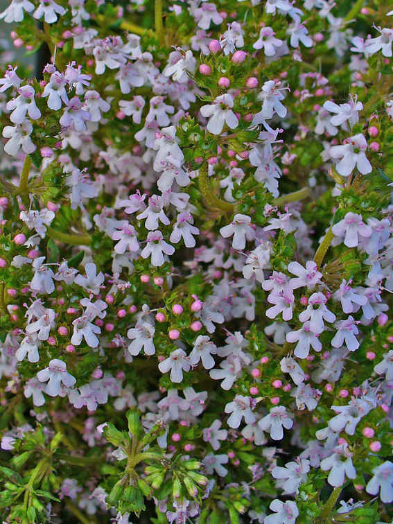 Thyme Picture