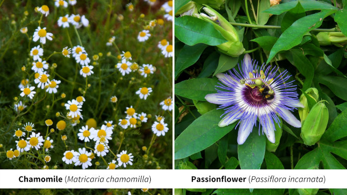 Chamomille and Passionflower