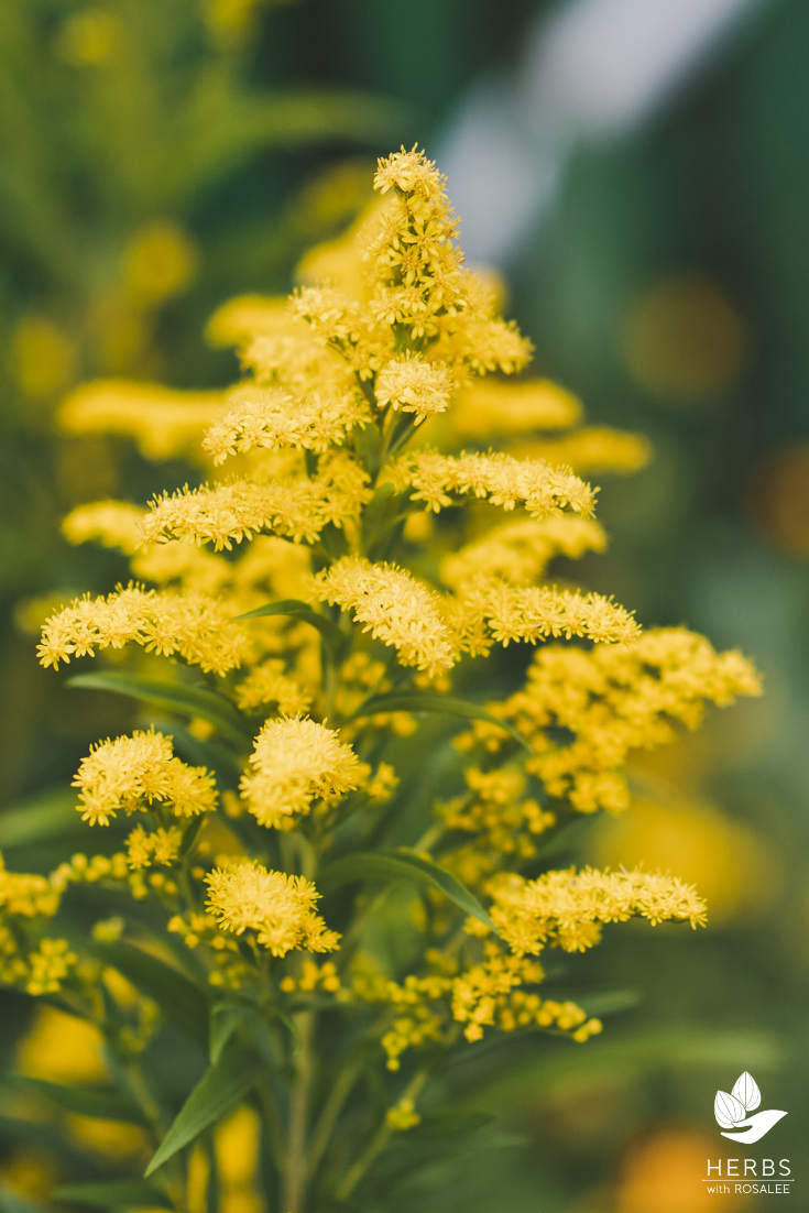 information about goldenrod