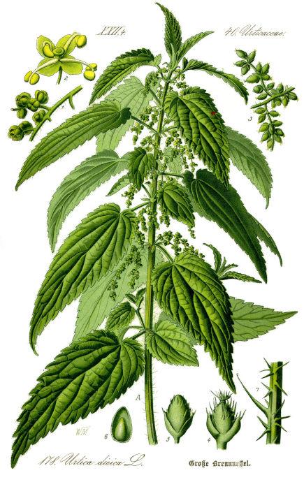 nettle botany