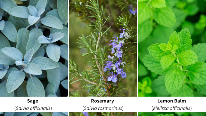 Sage, Rosemary, and Lemon Balm
