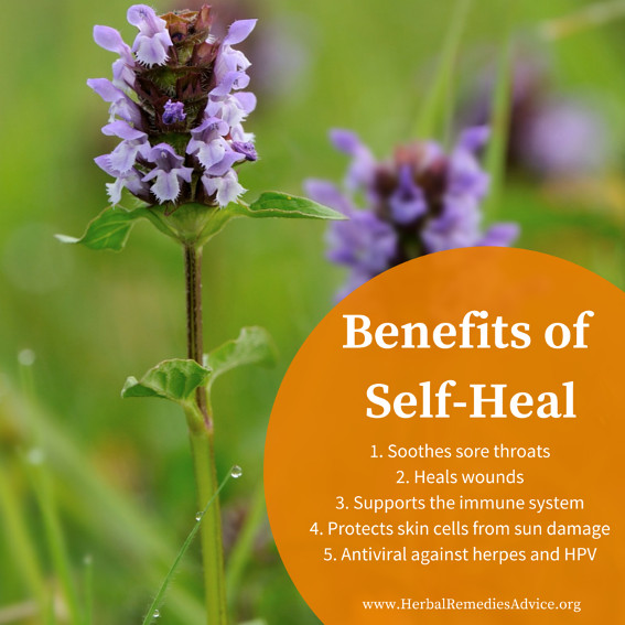 The Self Heal Herb