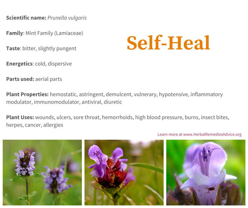 The Self Heal Herb