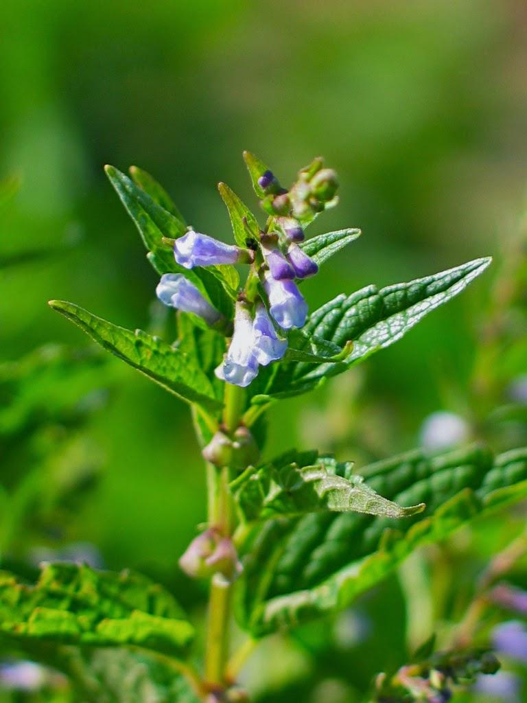 Skullcap Herb