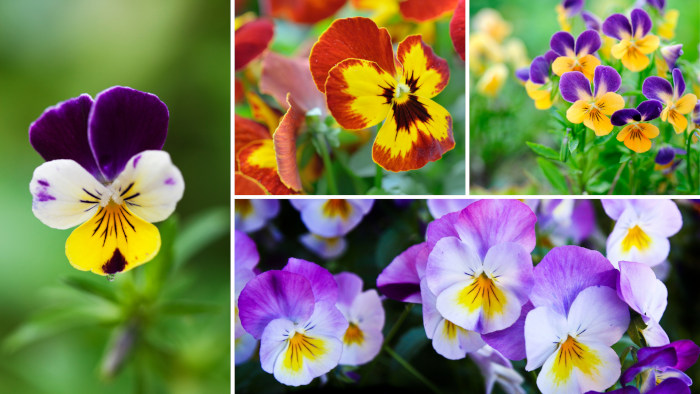 pictures of violets
