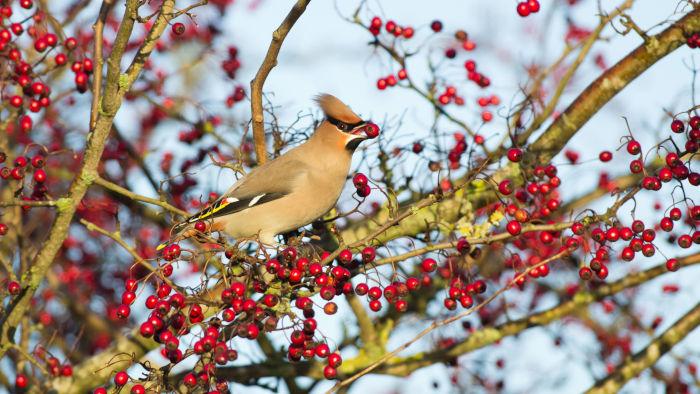 Waxwing bird in hawthorn tree