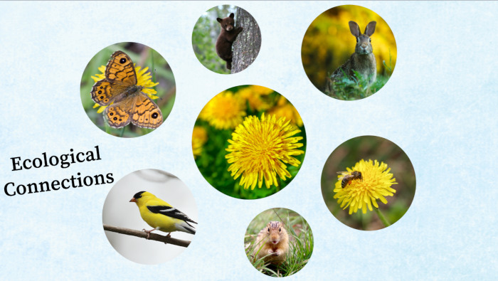 Ecological connections of dandelion