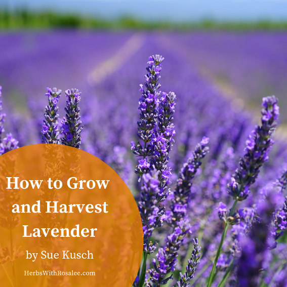 how to grow lavender