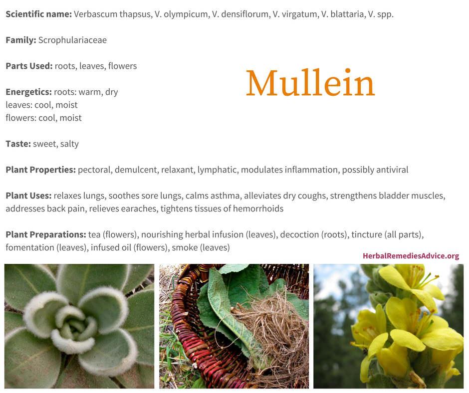 Benefits Of Mullein