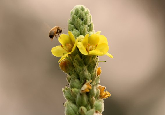 Benefits of Mullein