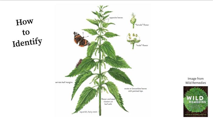Nettle Botany Wild Remedies
