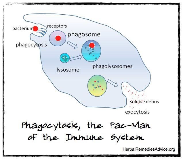 Phagocytosis is a process carried out by phagocyte cells and macrophage cells