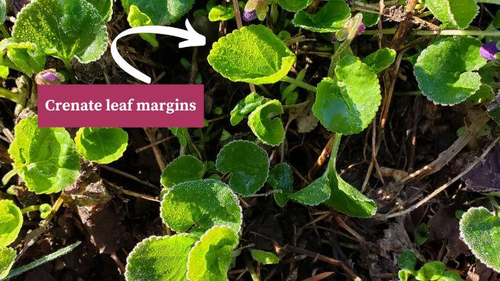 Violet Crenate Leaf Margins