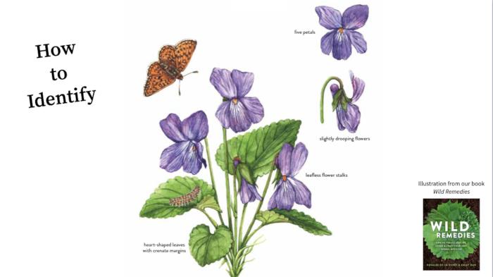 Violets in Wild Remedies