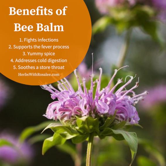 health benefits of bee balm