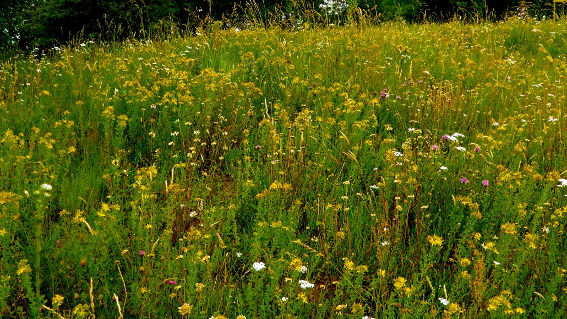 st johns wort pictures
